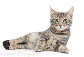 Tabby cat lying with head up