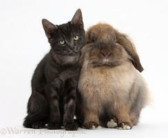 Smoke black kitten and Lionhead-Lop rabbit