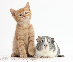 Ginger kitten and silver-and-white Guinea pig