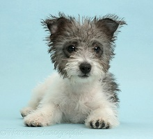 Jack Russell x Westie pup on blue background