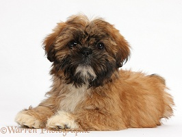 Brown Shih-tzu pup lying with head up