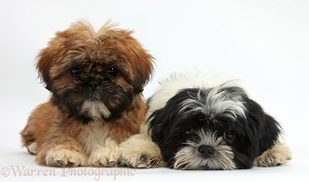 Brown and black-and-white Shih-tzu puppies