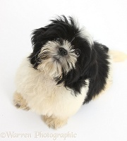 Black-and-white Shih-tzu pup looking up