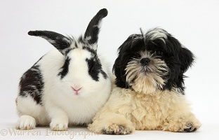 Black-and-white Shih-tzu pup and rabbit