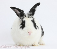 black and white spotted rabbit photo   wp18845