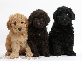 Three cute Toy Goldendoodle puppies