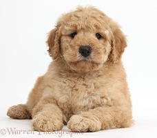 Cute Toy Goldendoodle puppy