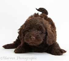 Cute chocolate Toy Goldendoodle puppy in play-bow