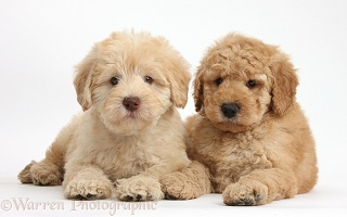 Two cute Toy Goldendoodle puppies