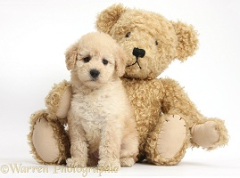 Cute Toy Goldendoodle puppy and Teddy bear