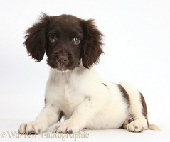 Chocolate-and-white Cocker Spaniel puppy