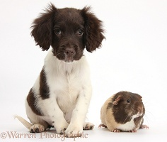 Chocolate-and-white Cocker Spaniel puppy and Guinea pig