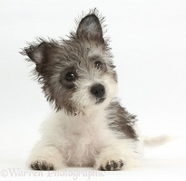 Jack Russell x Westie pup