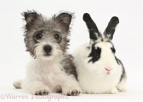 Jack Russell x Westie pup and rabbit