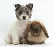 Jack Russell x Westie pup and fluffy Lop rabbit