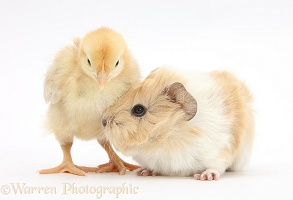 Baby Guinea pig and yellow Bantam chick