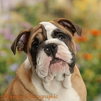 Bulldog puppy, 12 weeks old