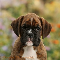 Boxer puppy, 8 weeks old