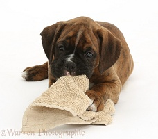 Boxer puppy, 8 weeks old, chewing a favourite cloth