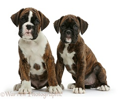 Two Boxer puppies, 8 weeks old