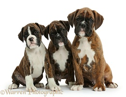 Three Boxer puppies, 8 weeks old