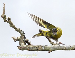 Siskin male taking off