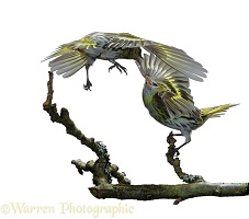 Siskin males fighting