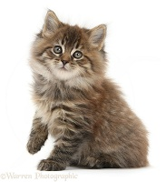 Brown tabby Maine Coon kitten, 7 weeks old, lifting a paw