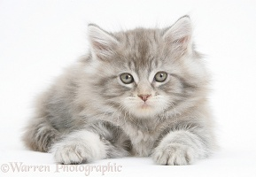 Silver tabby Maine Coon kitten, 7 weeks old