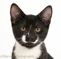 Black-and-white kitten portrait