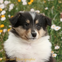 Tricolour Rough Collie dog puppy, 7 weeks old