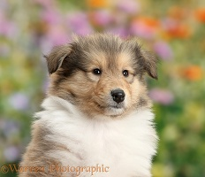 Sable Rough Collie dog puppy, 7 weeks old