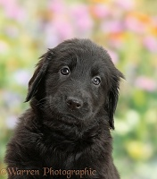 Black Flatcoated Retriever puppy, 6 weeks old