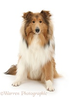 Sable Rough Collie dog, sitting