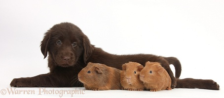 Flatcoated Retriever puppy and baby Guinea pigs