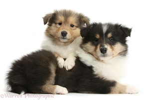 Two Rough Collie pups, 7 weeks old