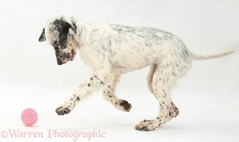 Blue Belton English Setter puppy chasing a ball
