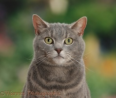 Tabby male cat portrait