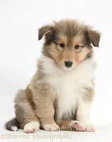 Sable Rough Collie puppy, 7 weeks old, sitting