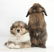 Sable Rough Collie puppy and rabbit