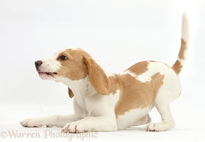 Orange-and-white Beagle pup in play-bow