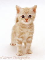 Ginger kitten standing