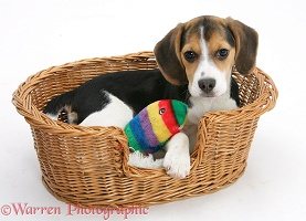 Beagle pup in a basket