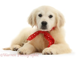 Yellow Labrador Retriever pup wearing a red bandana