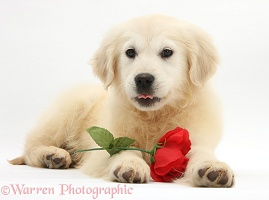 Yellow Labrador Retriever pup with rose