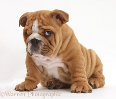 Bulldog pup, 8 weeks old, sitting