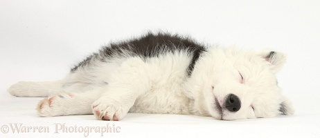 Sleepy black-and-white Border Collie pup