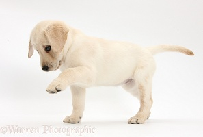Yellow Labrador Retriever puppy