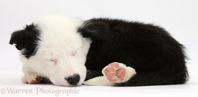 Seeping black-and-white Border Collie puppy