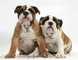 Two Bulldog pups, 12 weeks old, sitting